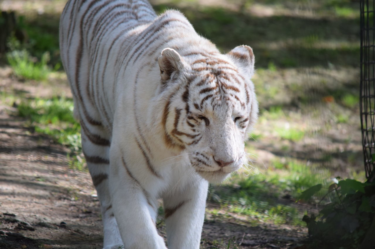 one animal, animal themes, animals in the wild, focus on foreground, tiger, animal wildlife, white tiger, day, outdoors, mammal, nature, no people, close-up