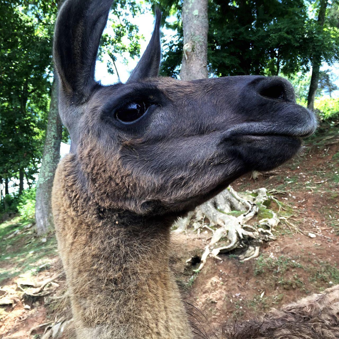 Safari Park Animals Posing Animal Lover FaceShot Virginia Animal Face Bgbphotos