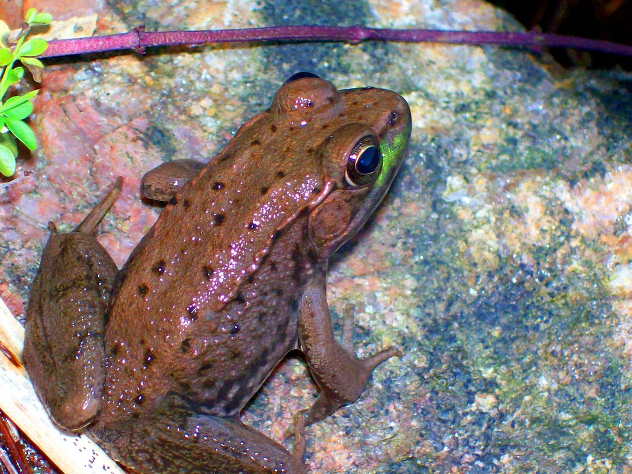 Amphibian Animal Themes Animal Wildlife Animals In The Wild Brown Frog Close-up Day Frog Frog Life Frog Pond Nature No People One Animal Outdoors