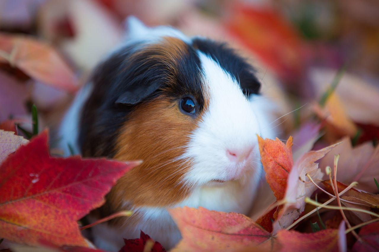 Animal Themes Pets Mammal Domestic Animals One Animal Close-up No People Leaf Day Portrait Nature Outdoors Guinea Pig Autumn