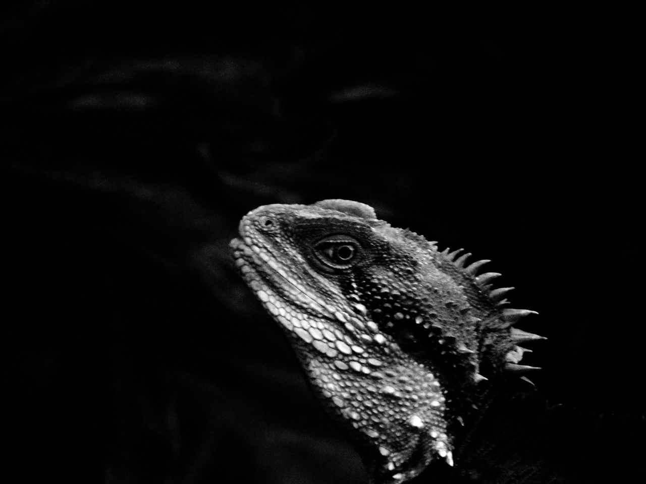 Animal Themes One Animal Animal Wildlife Reptile Animals In The Wild Bearded Dragon Close-up Nature Lizard Iguana No People Outdoors Coldblooded Blackandwhite Photography