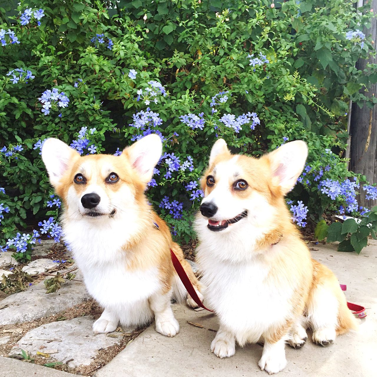 Corgi Corgis Puppy Love Puppy Puppies Dog Dogslife Dogsofinstagram