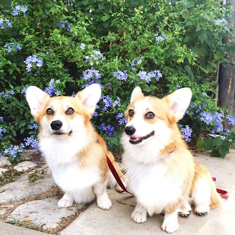 Beautiful stock photos of corgi, Animal Themes, Austin, Day, Dog