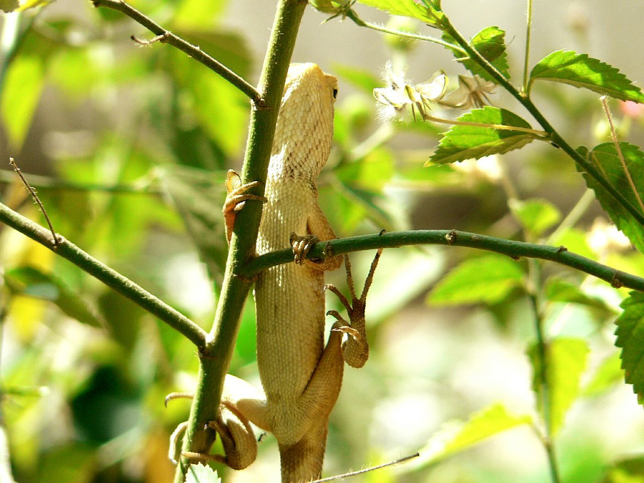 Lizard Watching In The Garden Garden Lizard Lizard Nature Repltile Cold Blooded Sun Bathing EyeEm Best Shots EyeEm Nature Lover EyeEmBestPics Eyeen Gallery EyeEm Best Shots - Nature EyeEm Best Edits Eyeem Lizards The Lizard Hannging From The Tree Hanging Climbimg A Tree Lizardporn Lizard Love The Lizard Madness