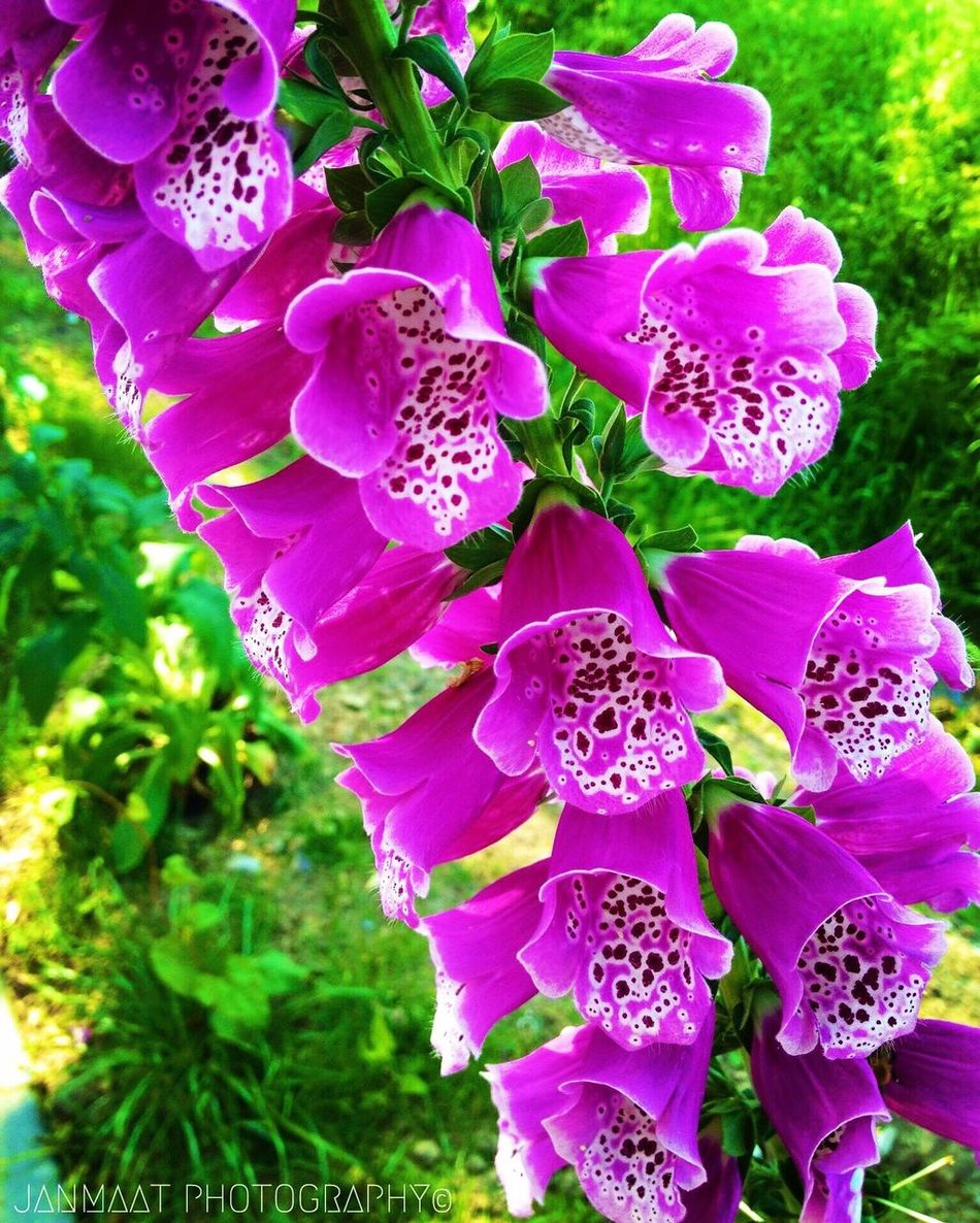 Millennial Pink Flower Freshness Nature Pink Color Plant Close-up Flower Head Pink Foxglove Foxgloves Pink Flowers Pink Flower Blooming Beauty In Nature Colors Flower Collection