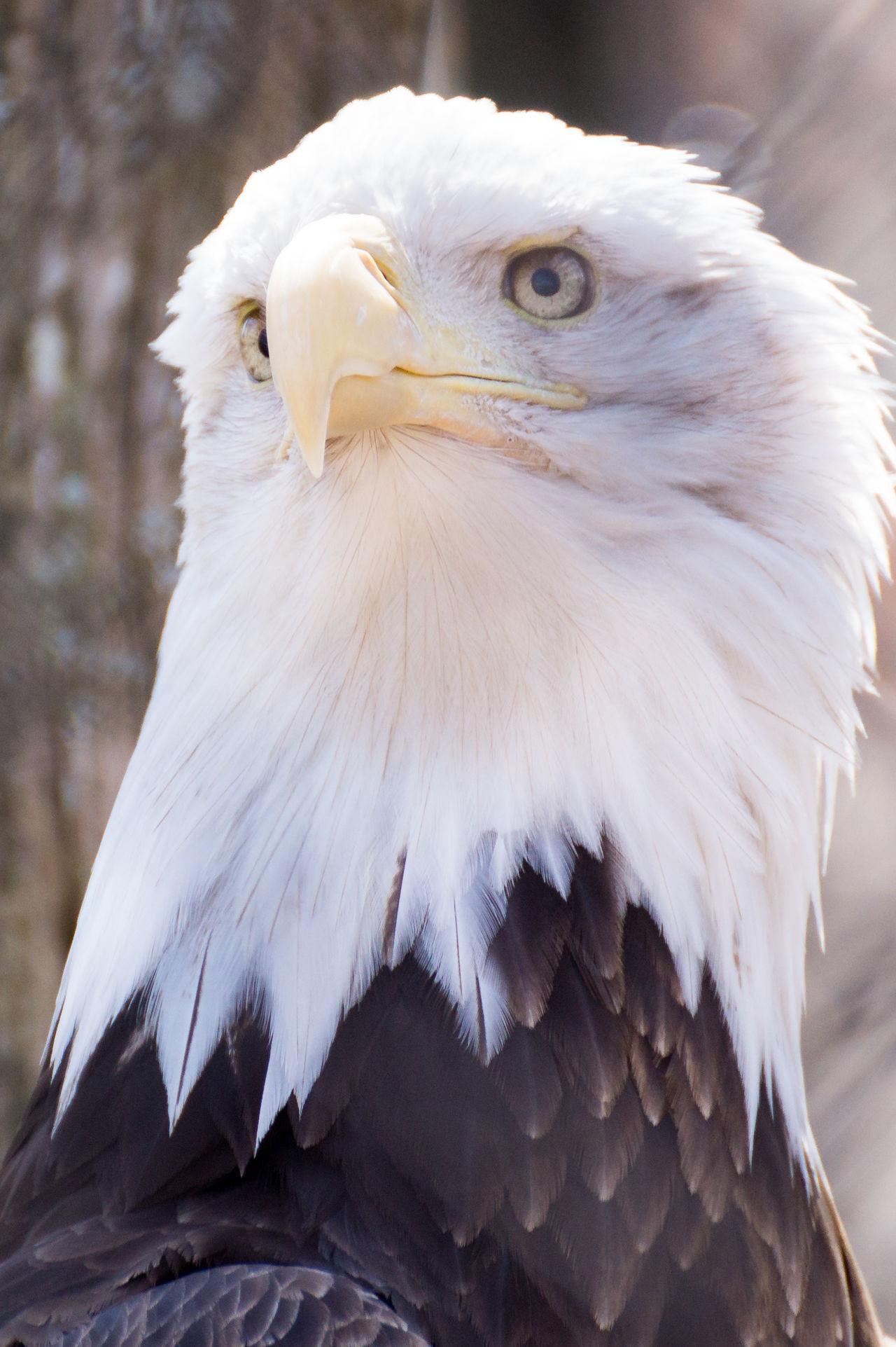 Beautiful stock photos of bald eagle, , Ames, Animal Head, Animal Themes