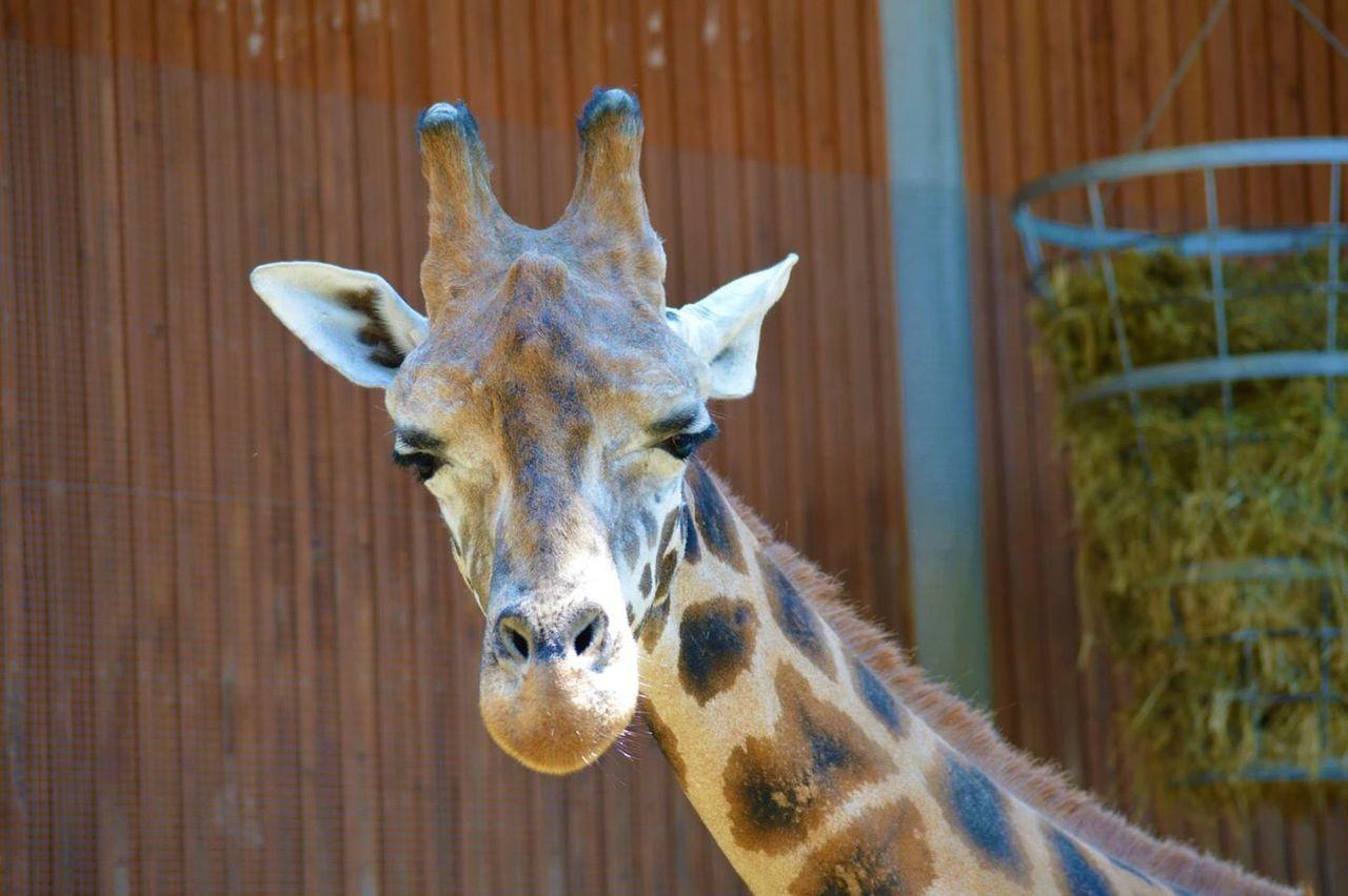Beautiful stock photos of giraffe, Animal Body Part, Animal Head, Animal Neck, Animal Themes