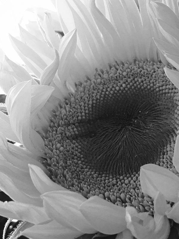 Flower Flower Head Petal Close-up Fragility Freshness Beauty In Nature Blackandwhite Nature Growth No People Outdoors Plant Day
