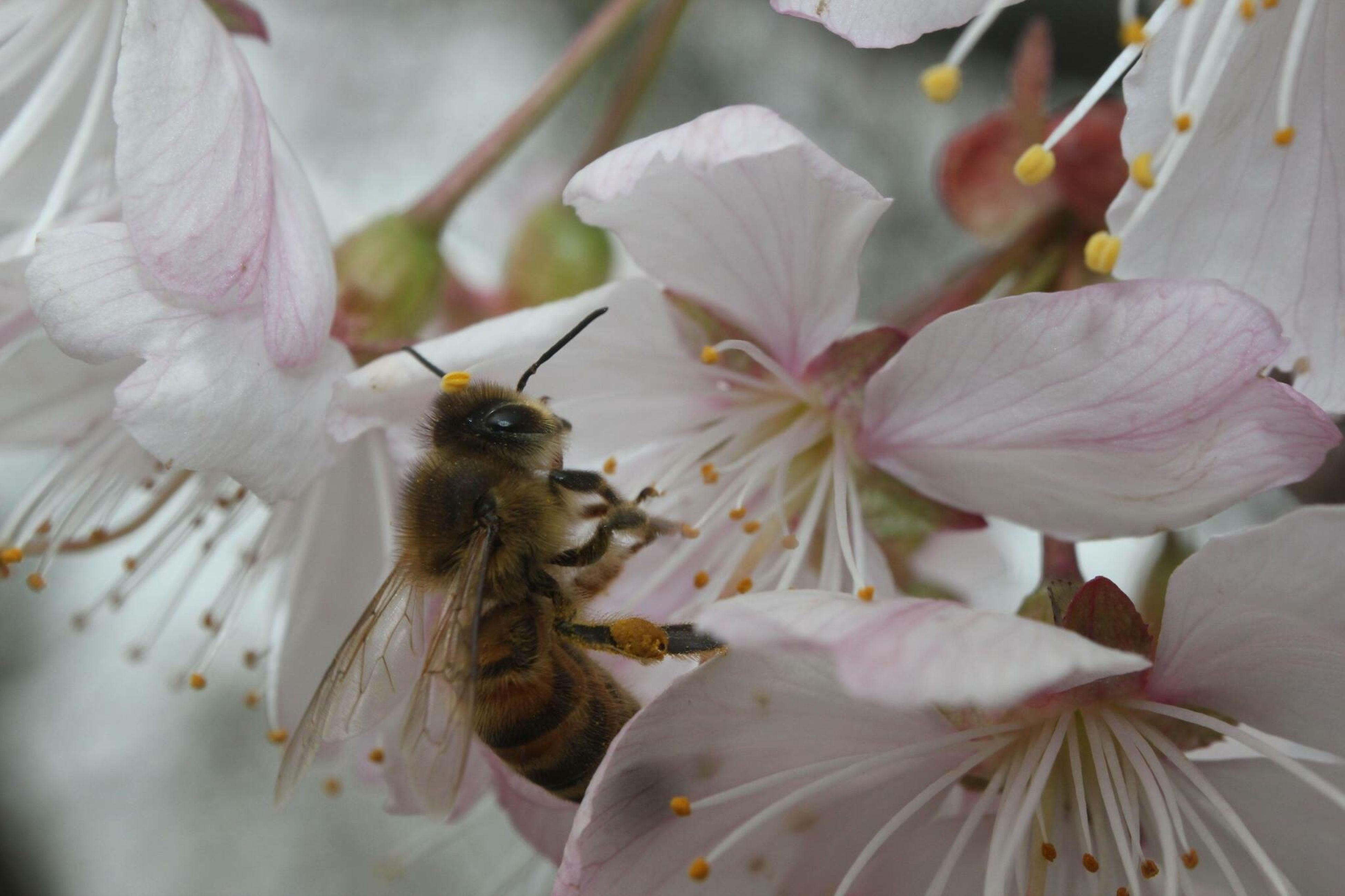animal themes, flower, animals in the wild, wildlife, insect, one animal, petal, pollination, fragility, bee, freshness, beauty in nature, close-up, nature, flower head, growth, symbiotic relationship, focus on foreground, honey bee, white color