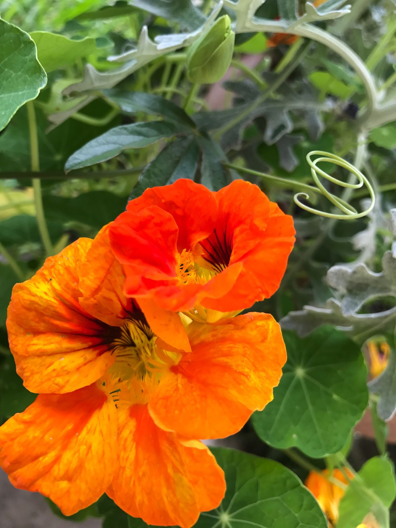 Bright Colors Nasturtium Flower Growth Nature Fragility Plant Petal Blooming Beauty In Nature Freshness Flower Head Close-up Stamen No People Outdoors Day Tendril Swirly Swirl Yellow Orange Green Color Whirl Dusty Miller