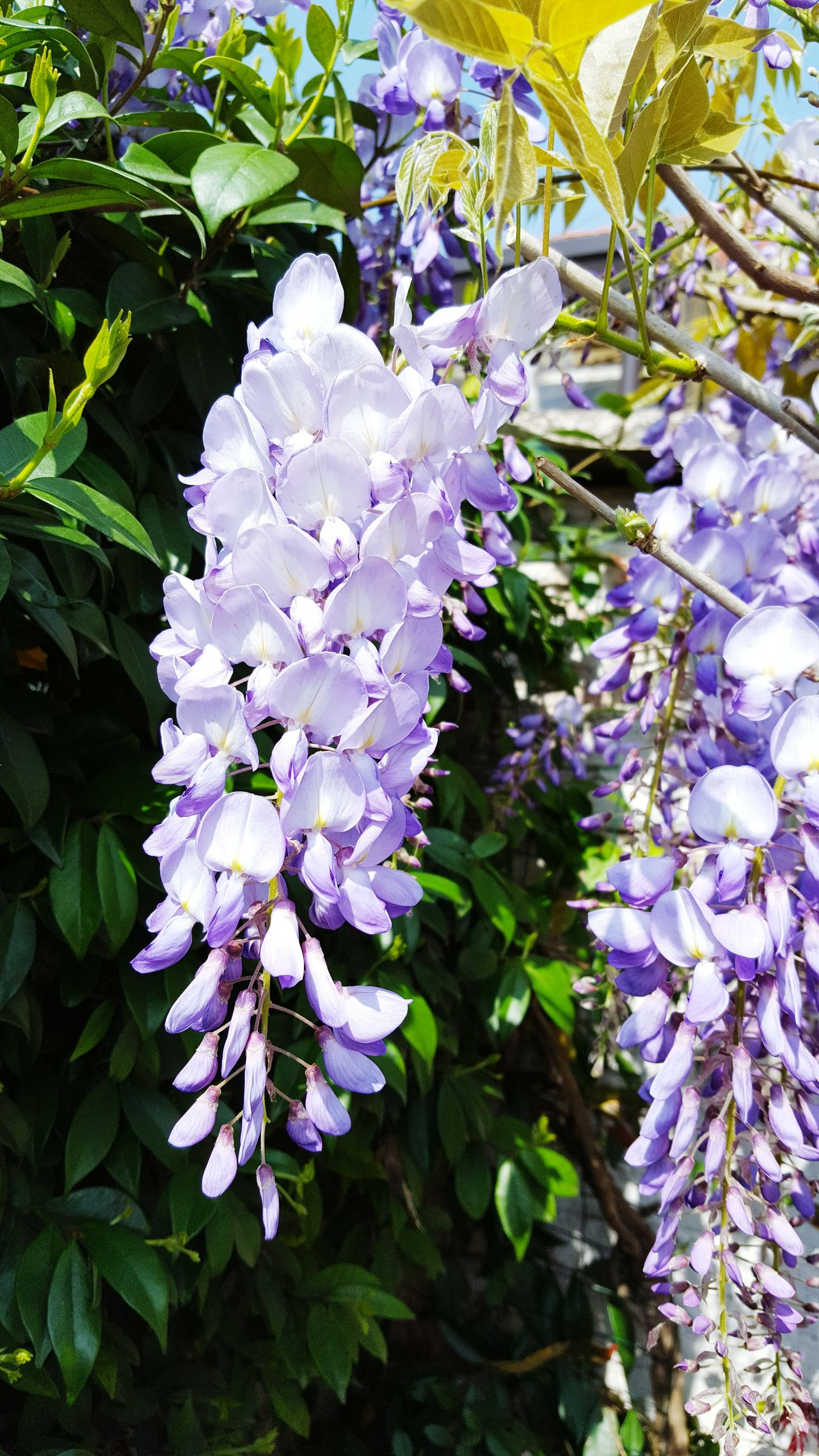 Glicine Flower Freshness Fragility Purple Growth Petal Beauty In Nature Close-up Plant Nature Flower Head In Bloom Springtime Vibrant Color Blossom Day Botany Bunch Of Flowers Outdoors Lilac