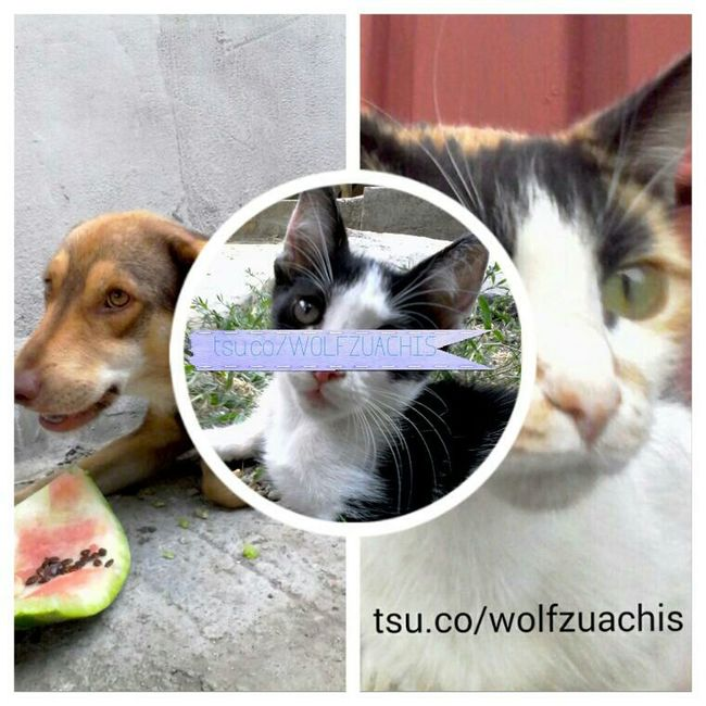 CollageTSU Wolfzuachis Colaj
