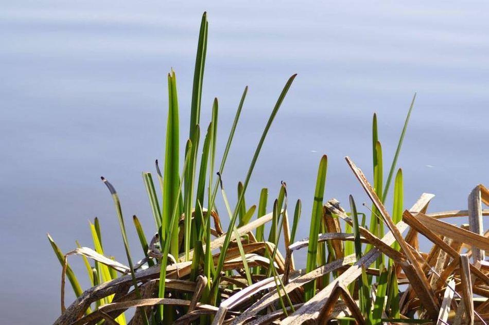 Grass Gras  Nature Lake See Natur Wasser GreenAndBlue  Grünundblau