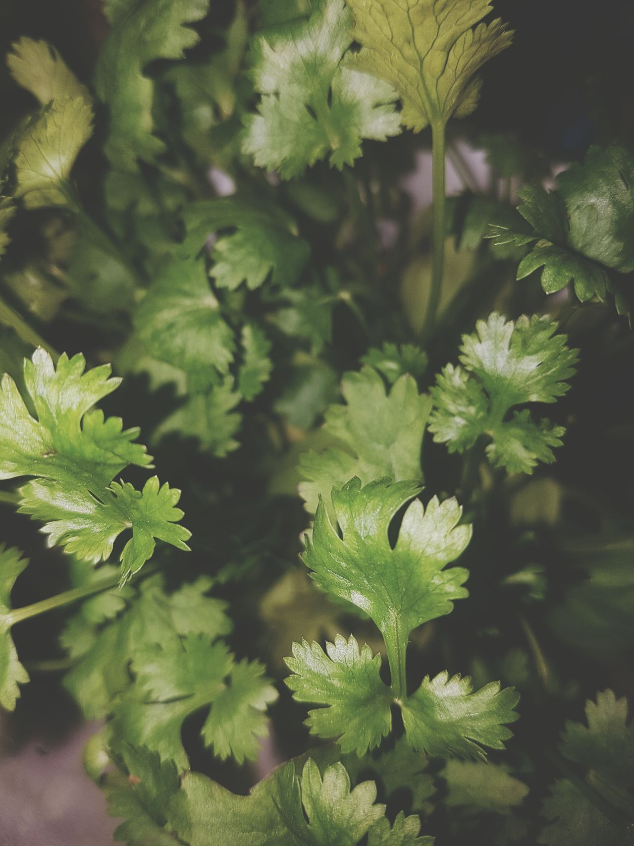 Beautifully Organized Growth Nature Plant Leaf Green Color Beauty In Nature Close-up No People Flower Outdoors Day Freshness Food Coriander Freshness Plant Nature Focus On Foreground Cori