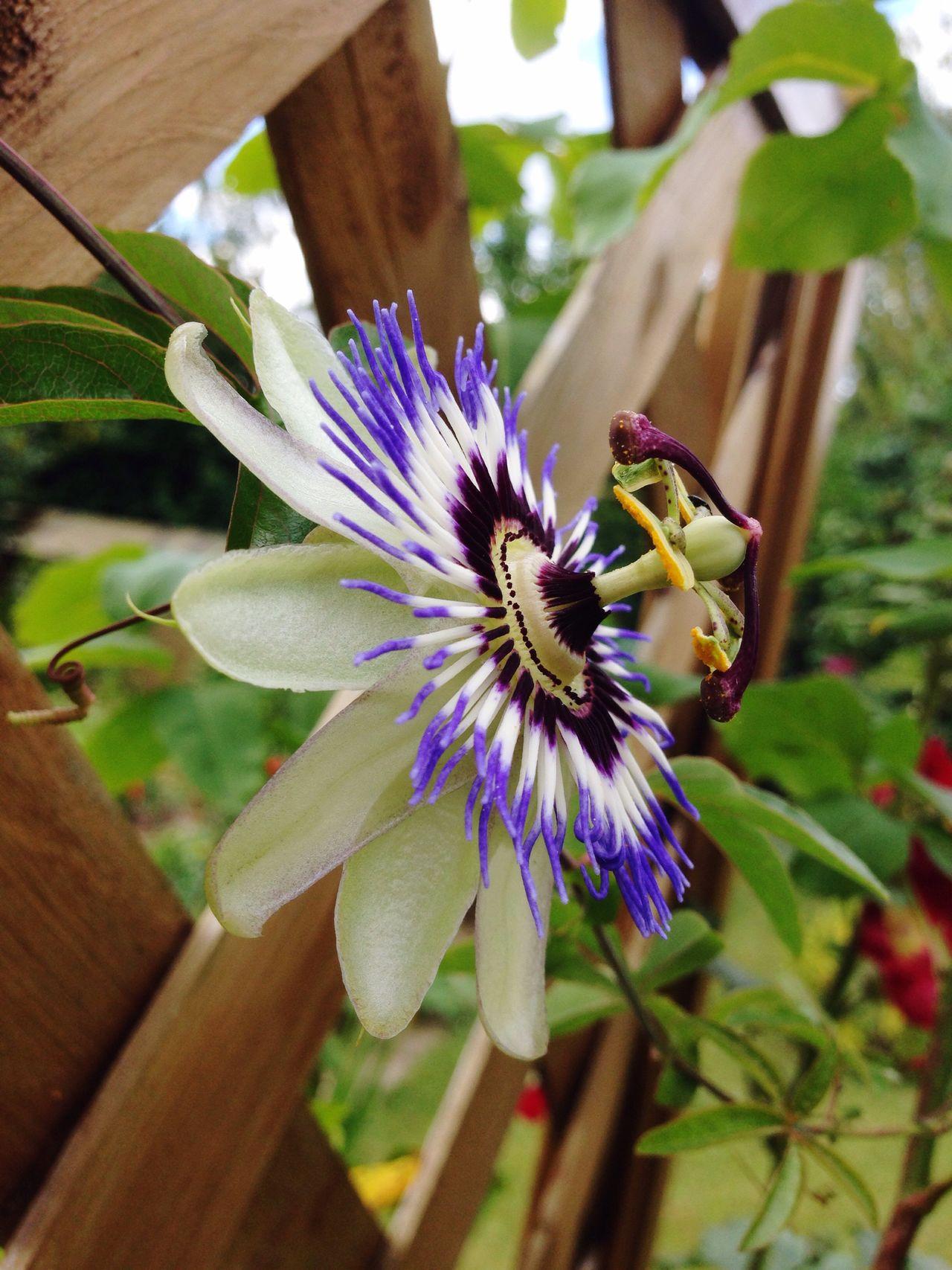 Gardening Passionsblume Passionflower Passionfruit Flourishing Garden Garden Photography Hobby Flower
