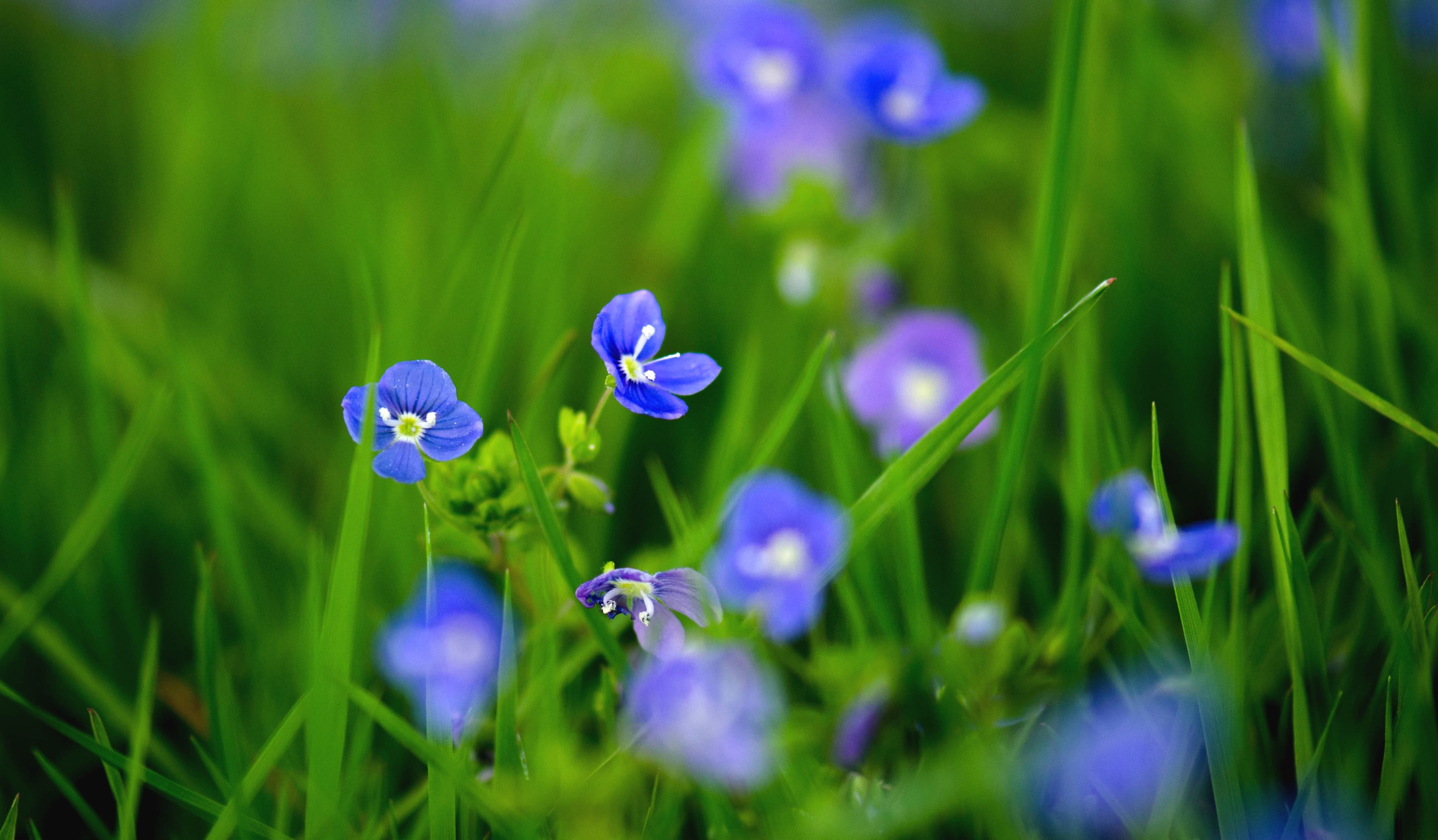 flower, purple, freshness, growth, fragility, beauty in nature, petal, plant, focus on foreground, nature, blue, blooming, field, selective focus, flower head, close-up, stem, in bloom, wildflower, green color