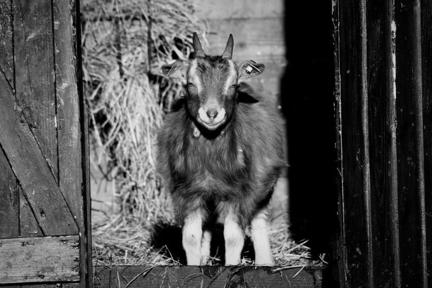 Goat looking in camera Animal Themes Black And White Farm Pet Goat