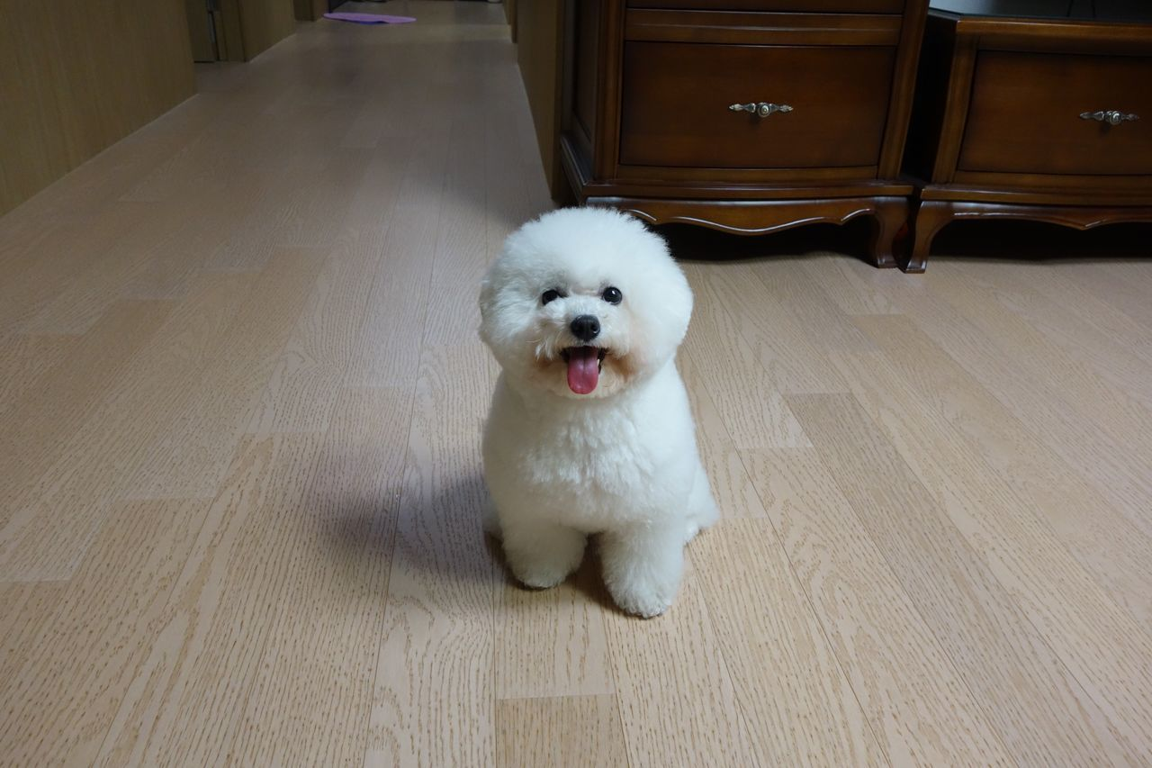 Pets Dog Domestic Animals One Animal Animal Themes Mammal Indoors  High Angle View Pomeranian No People Day Portrait My Love❤ Bichonfrise