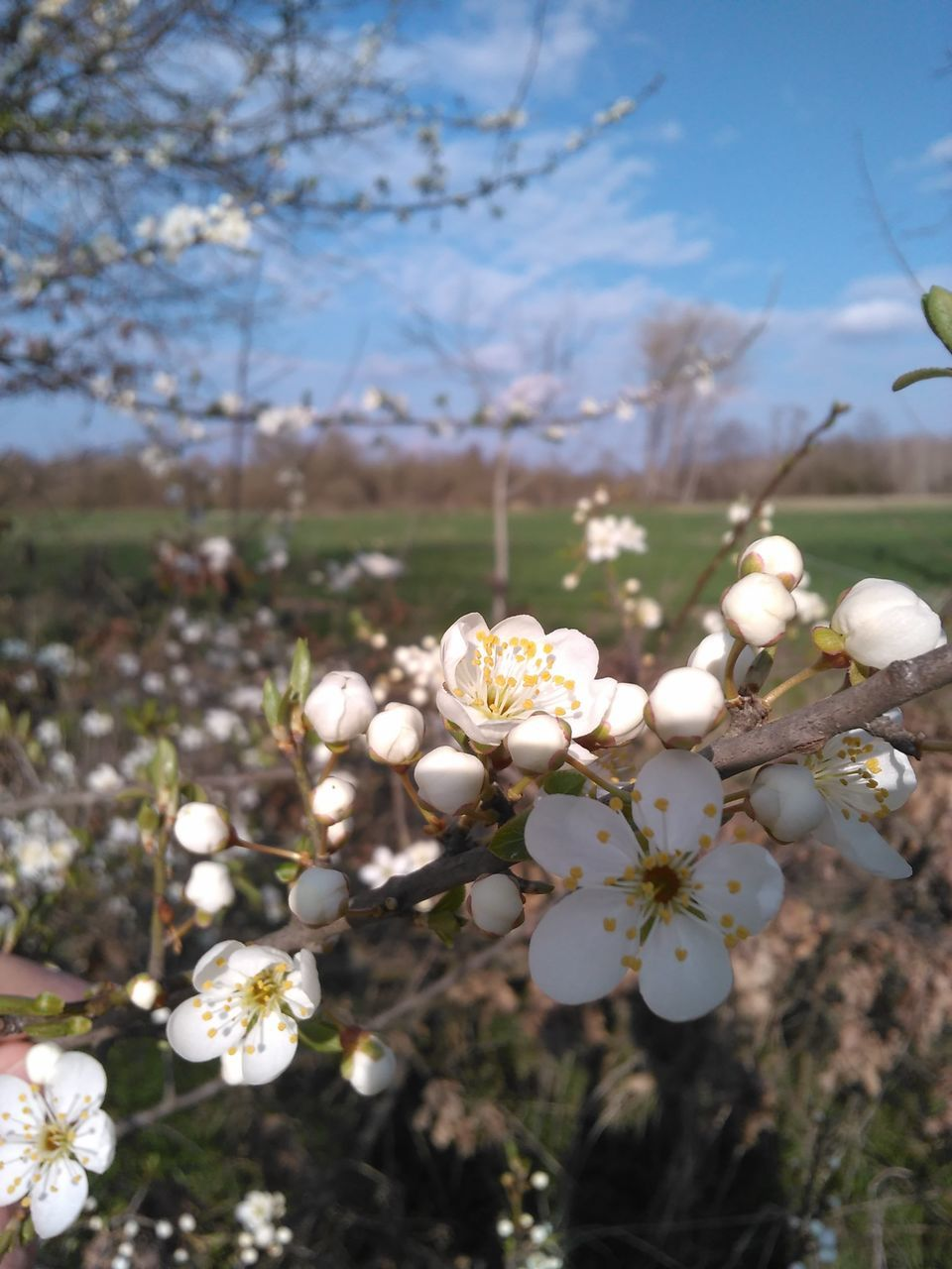 flower, growth, fragility, nature, beauty in nature, blossom, white color, tree, apple blossom, branch, petal, springtime, orchard, no people, freshness, day, blooming, outdoors, plant, flower head, close-up
