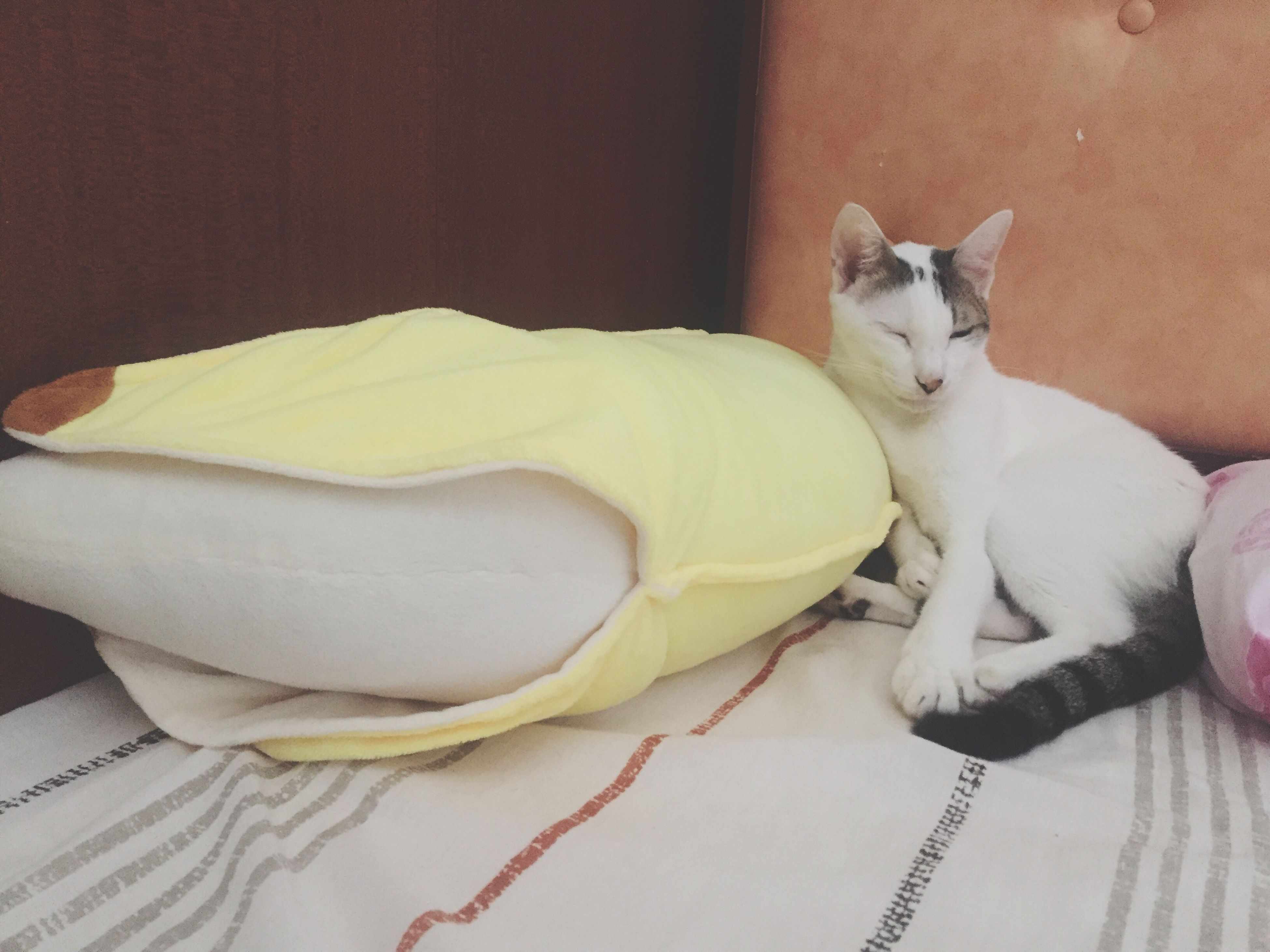 Banana or Cat ? Pets Cat Meow Banana Sleepy Storyonthebed Macau Macao