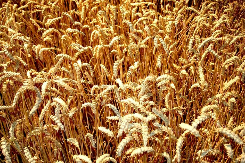 Beautiful stock photos of gold, Agriculture, Backgrounds, Cereal Plant, Day