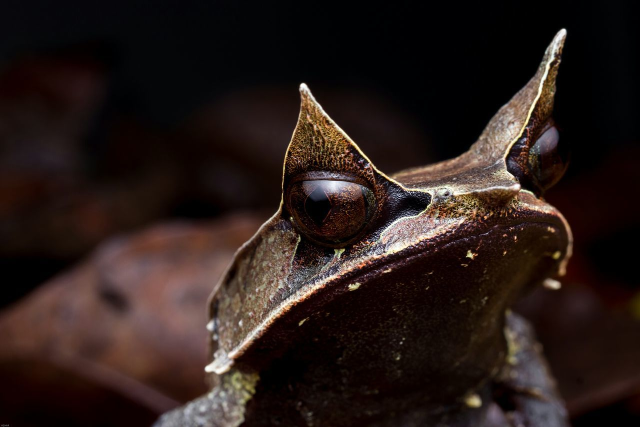Malayan Horned Frog Close-up Animal Wildlife Nature Outdoors Photography Nightshot Nature Beauty