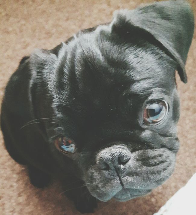 Pug Puppy My Baby Billy Boy Check This Out Sad Face How Cute