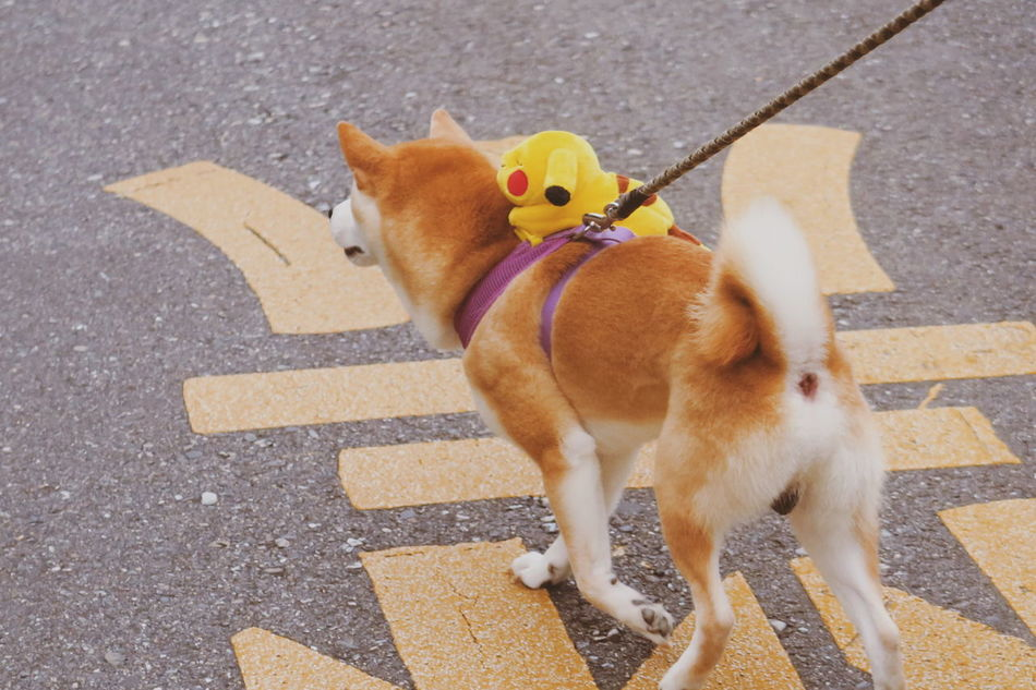 Dog Pets Domestic Animals Street Mammal Animal Themes High Angle View Pet Leash No People Outdoors One Animal Shiba Inu Gay Gaypride Parade Proud Pikachu Pokémon Ride