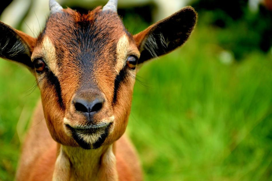 Animal Animal Eye Animal Head  Animal Themes Brown Close-up Day Focus On Foreground Goat Grass Nature Outdoors Portrait Selective Focus