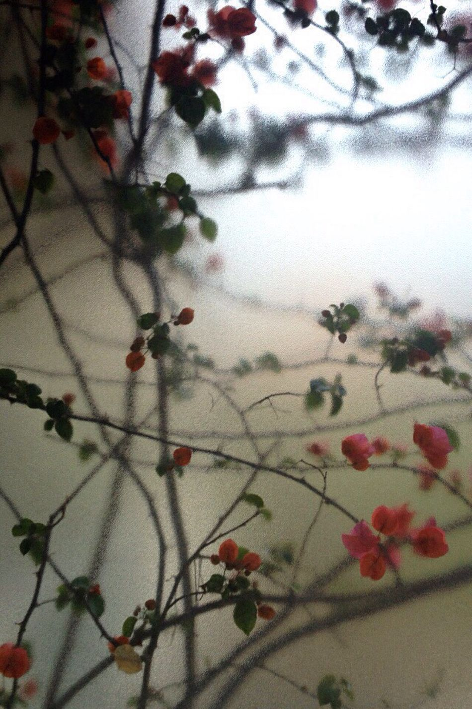 Bougainvillea Blossom Growth Through The Glass No People Tree Beauty In Nature Close-up Outdoors Freshness Day Plant Fragility Low Angle View Branch Translucent