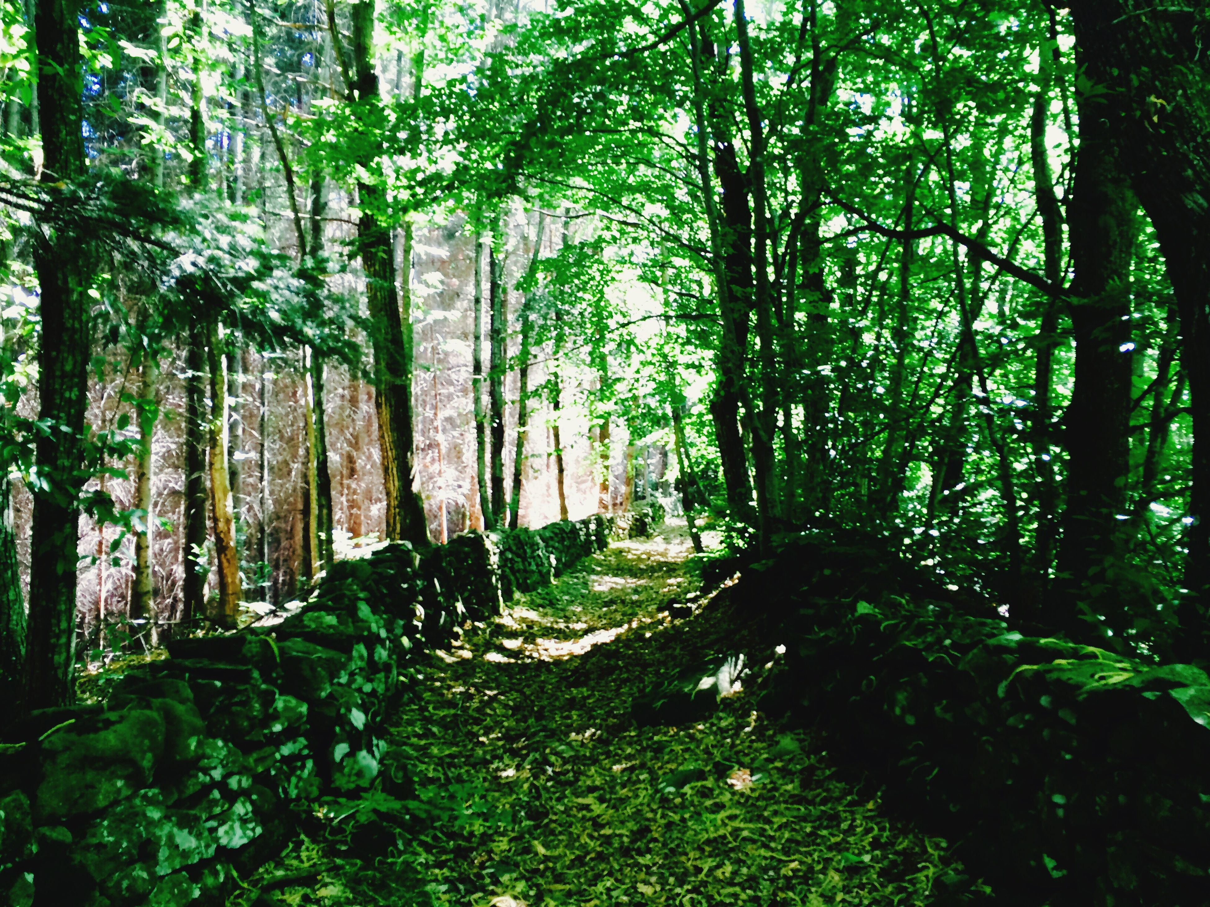 tree, forest, growth, tree trunk, tranquility, woodland, green color, nature, tranquil scene, beauty in nature, lush foliage, scenics, sunlight, branch, non-urban scene, plant, day, no people, outdoors, woods