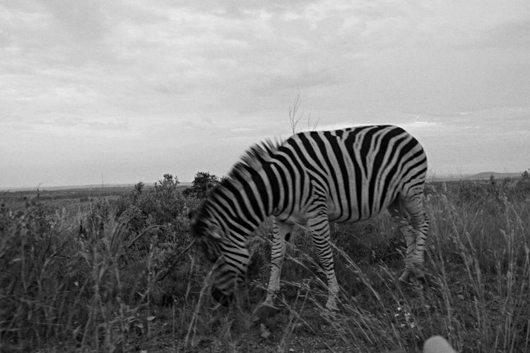 Zebra croasing Animals In The Wild Animal Themes Sky Nature Zebra No People Animal Wildlife Field Outdoors One Animal Day Safari Animals Grass Tree Beauty In Nature Mammal