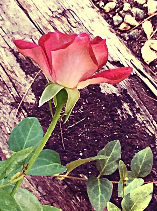 California Summer Rose Garden Rose Porn Myphoto