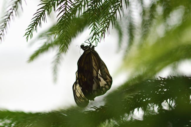 Butterfly Moth Drying Wings In Sun Insects  Bugs Wings Vibrant New Hanging Upside Down
