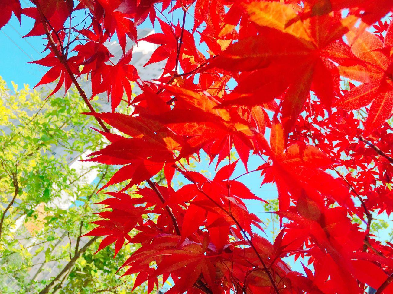 Iphone6 Autumn Nature 아이폰6 단풍 자연