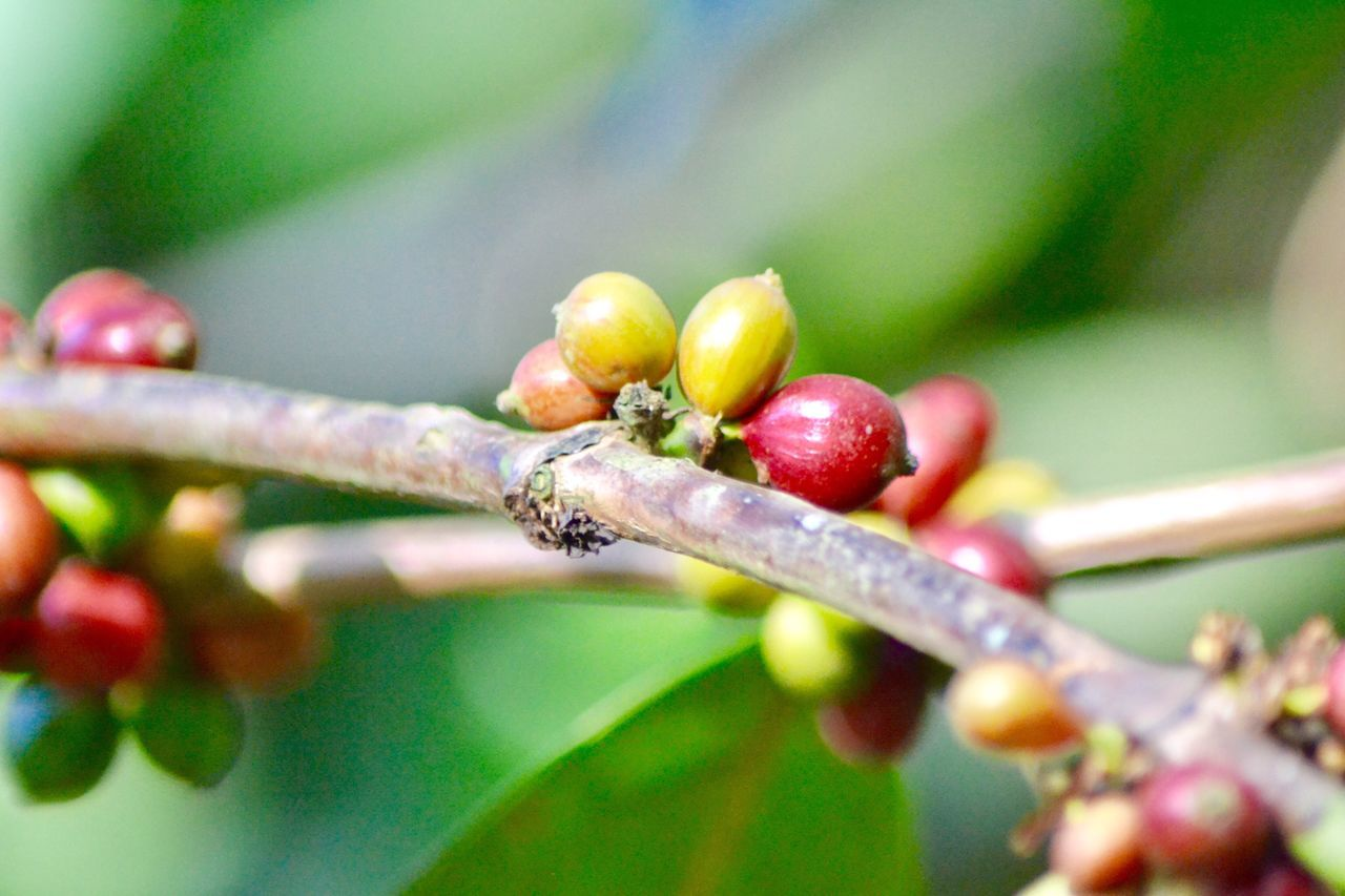 Coffee Cherry Coffee Cherries Fruit Close-up Selective Focus Food And Drink Leaf Stem Plant Growth Red Freshness Nature Focus On Foreground Coffe Beans Branch Day Green Color Botany Berry Beauty In Nature Thorn Growing