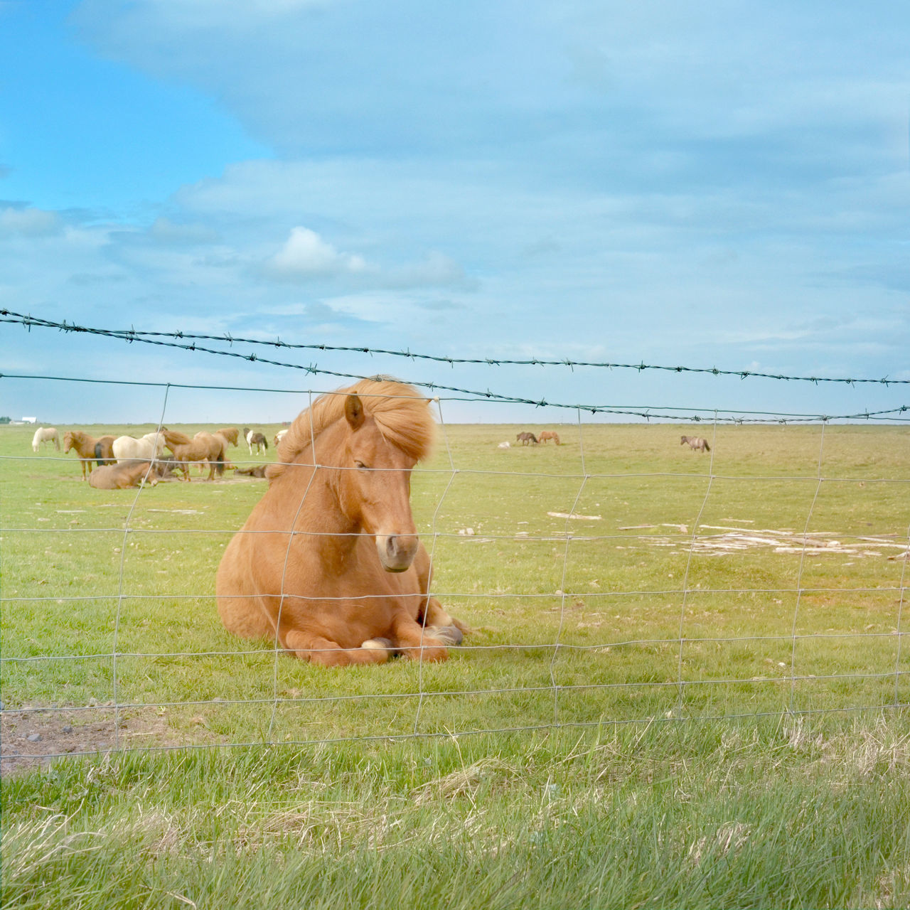 Horse Relaxing By Fence On Grassy Field Against Sky