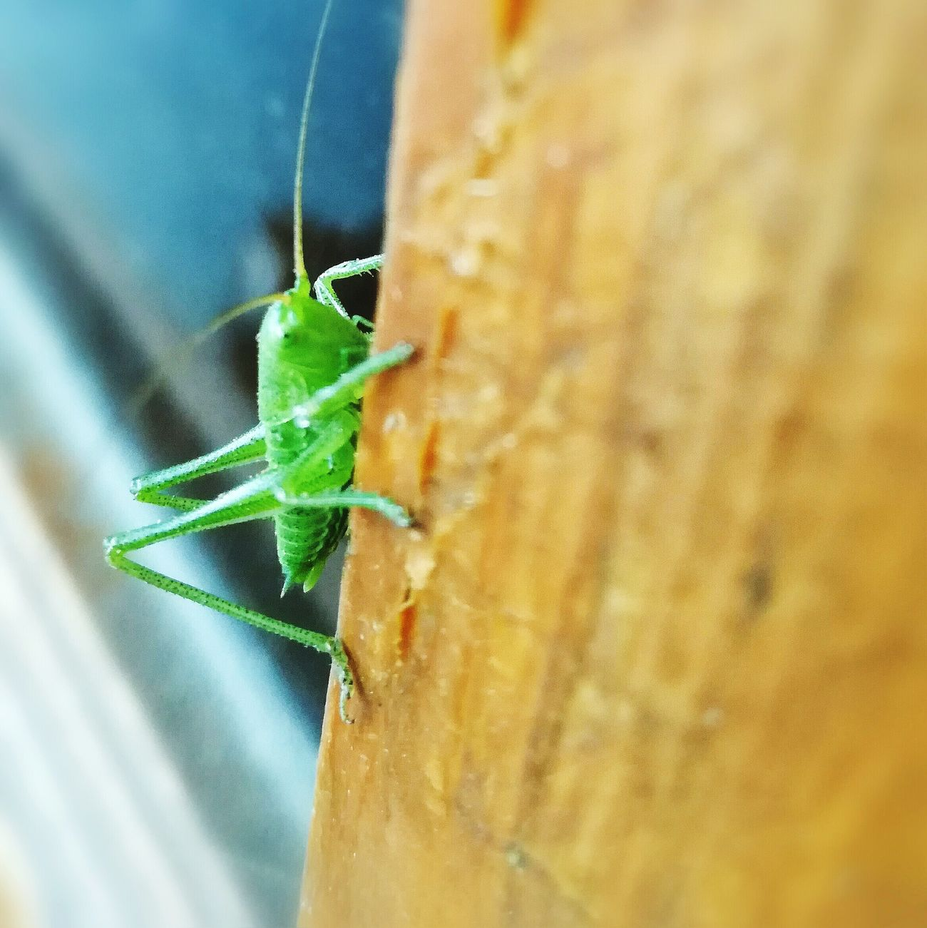 Animals In The Wild One Animal Animal Wildlife Animal Themes Close-up Insect No People Day Nature Outdoors Crickets Insects  Insects  Insects  Green Close Up Closeup Animal