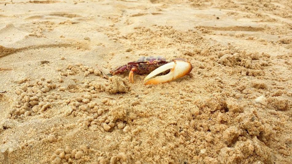 Crabe Violoniste EyeEm Selects Sand Beach Nature One Animal Day Animal Themes Shore Hermit Crab Sea Life No People Outdoors Seashell Animals In The Wild Sunlight Beauty In Nature Close-up Sea