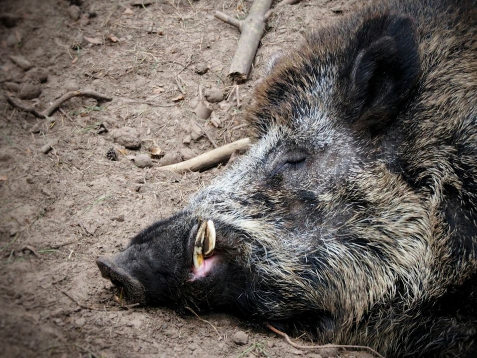 Daydreamer... Animal Themes One Animal Mammal Relaxation No People Animals In The Wild Outdoors Pig Nature Close-up Wild Hog Wild Boar Sleeping Beauty Daydreamer Wild Life Wild Animals Animal Portrait Nature Beauty In Nature Nature Lover Welcome To Black