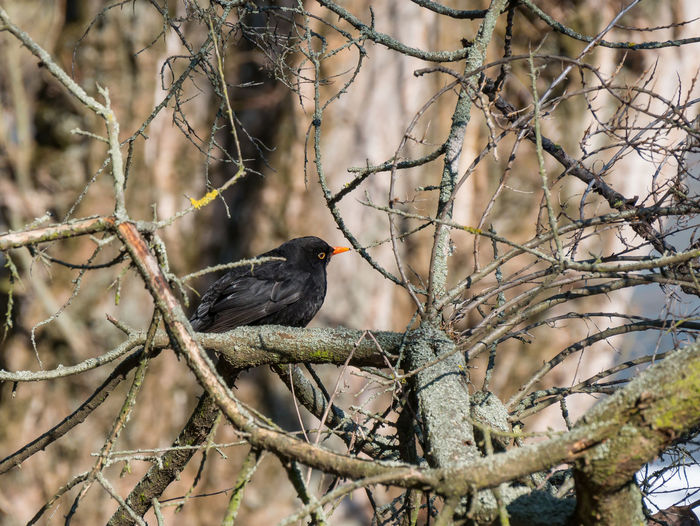 Blackbird on tree. Animal Themes Animal Wildlife Animals In The Wild Bird Blackbird Blackbird In Tree Blackbirds Day Nature No People One Animal Outdoors Perching Tree