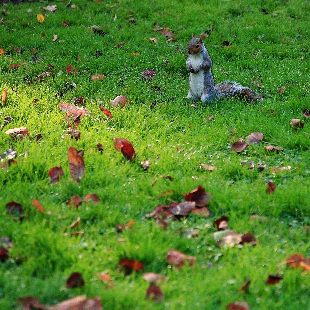 grass, animal themes, one animal, green color, nature, field, mammal, outdoors, animals in the wild, day, no people, animal wildlife, squirrel