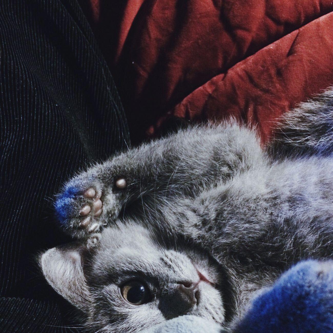 Pets Kitty Meow Meow🐱 Selfie ✌ Bluecat my new friend 😈