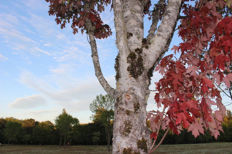 Tree Trunk Autumn Beauty In Nature Branch Close-up Day Growth Mossy Tree Nature No People Outdoors Red Leaves In Summertime Scenics Sky Tranquility Tree Tree Trunk White Bark
