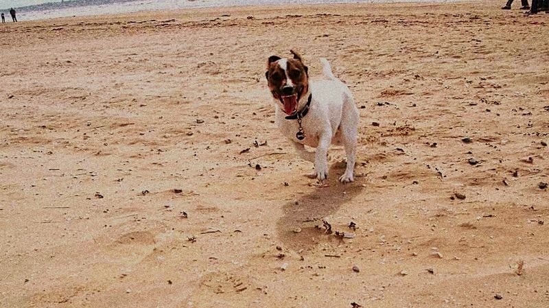 Snapshots Of Life Running Around Jackrussell My Dog Douglas Crazy Face Running Dog Loving Life! Life Is A Beach I Love My Dog
