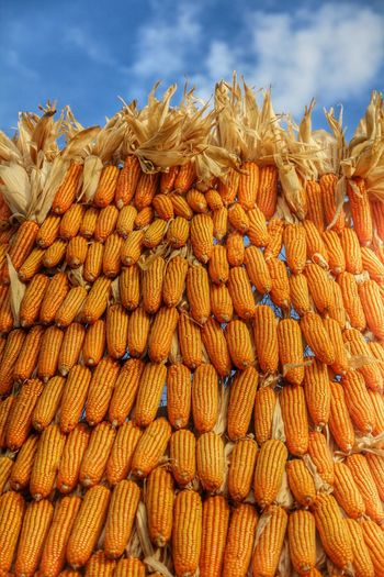 Yellow corn contrasting with the blue of the sky. Maize Corn Dent Corn Pod Corn Yellow Sky Dry Corn Drycorn Field Corn Zeamay Corn And Sky Kernel Cornhusks Corn Husk Blue Yellow Corn