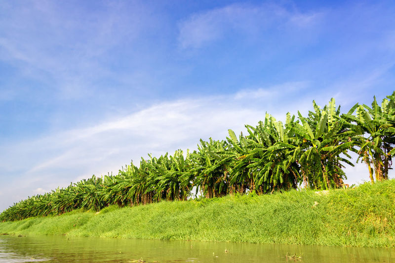 Row of banana trees seen from the bank of the Magdalena River in Colombia Banana Banana Tree Bananas Beauty In Nature Blue Colombia Grass Green Green Color Landscape Magdalena River Mompos Mompox  Non-urban Scene Outdoors Plantation Rio Magdalena River Rural Scene Sky Tree Trees Tropical Tropical Climate Tropics