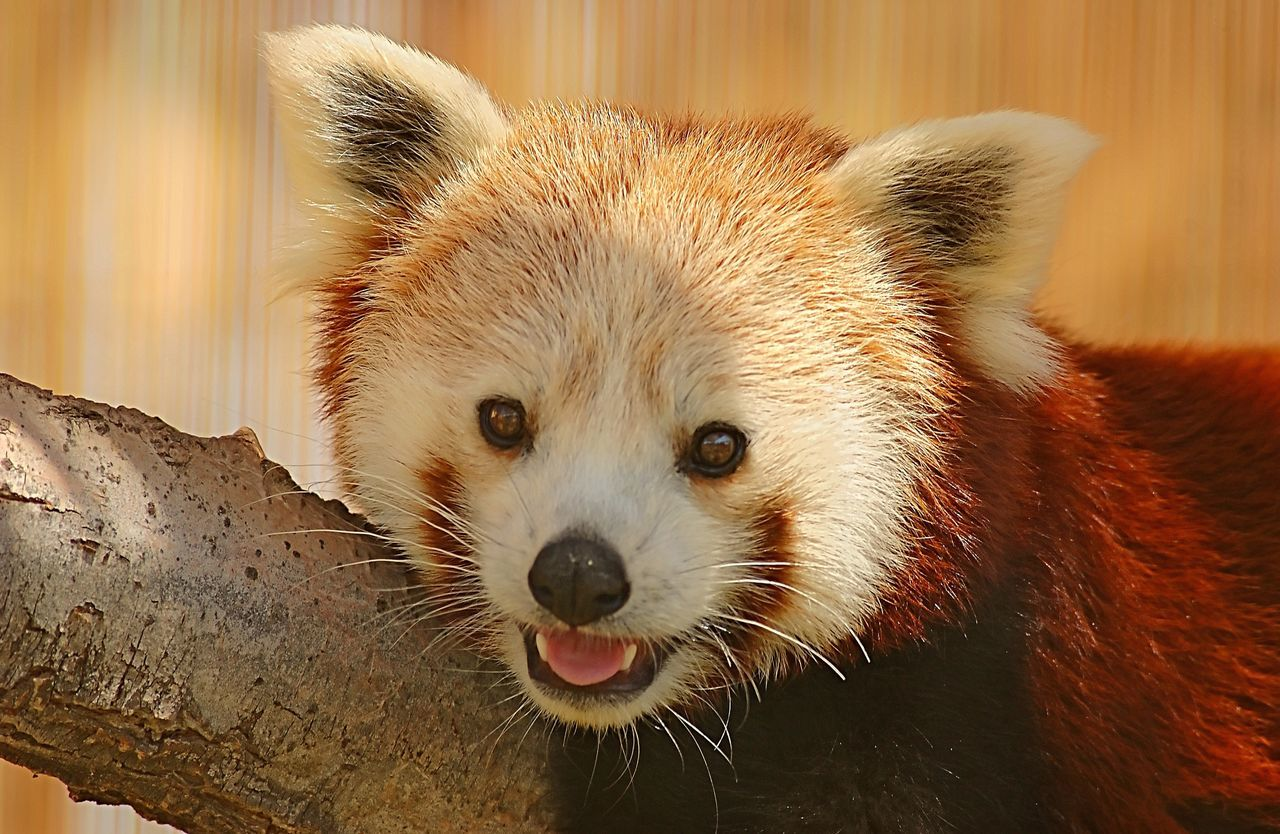 A portrait of a Red Panda smiling... and you'd be smiling too if you were that cute! 😂 Animals In The Wild Close-up Portrait Animal Wildlife Red Panda Nature Wildlife Animal Beauty In Nature Beautiful Nature Photo Photography Photographer EyeEm EyeEm Gallery EyeEm Best Edits EyeEm Masterclass EyeEm Best Shots EyeEmBestPics The Portraitist - 2017 EyeEm Awards Animal Head  Cute Smile Endangered Species Chinese