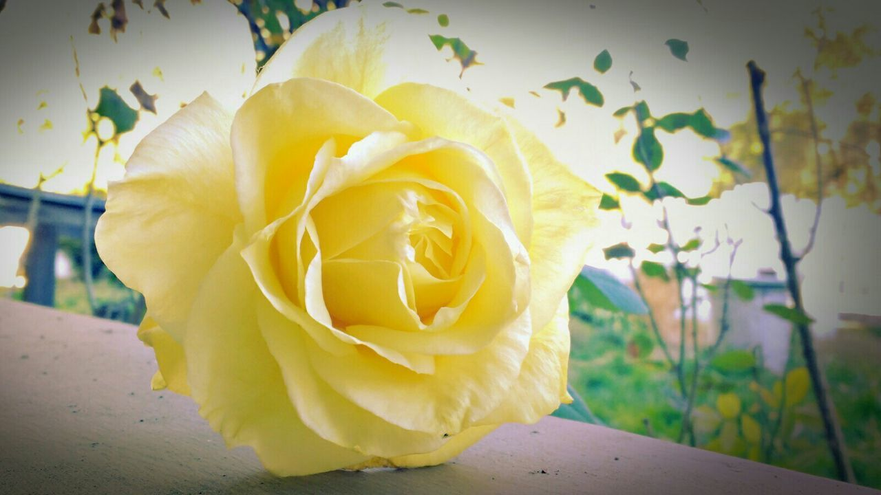 Winter Rose Yellow Rose Rose🌹 Focus On Foreground EyeEm Nature Lover Nature On Your Doorstep Plants Sunny Day Natural Light
