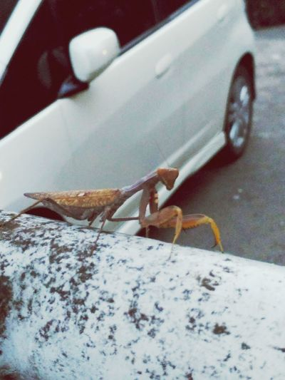 Belalang Sembah One Animal Animal Themes Animals In The Wild Animal Wildlife Close-up No People Day Indoors  Reptile Nature First Eyeem Photo